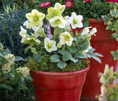 L'hellébore ou Rose de Noël est la reine des plantes extérieures à offrir pour donner de la couleur aux jardins en ces Fêtes de fin d'année, grâce à sa floraison hivernale.